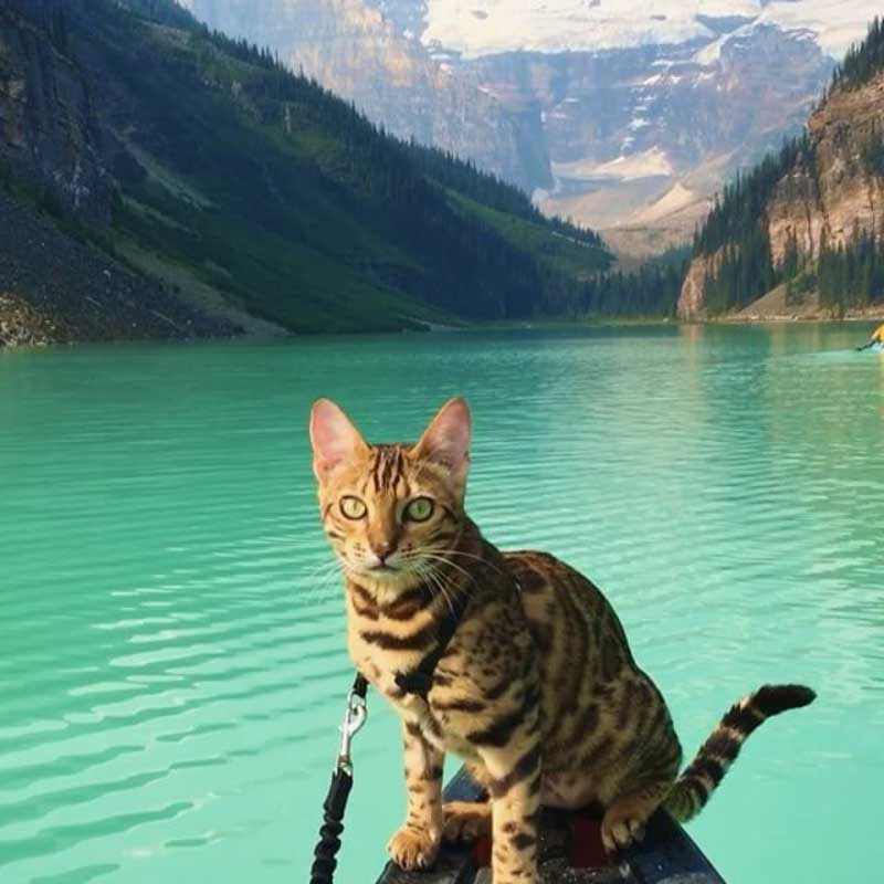 Suki the traveling cat