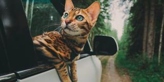 Fă cunoștință cu Suki: pisica neînfricată care călătorește mai mult decât tine